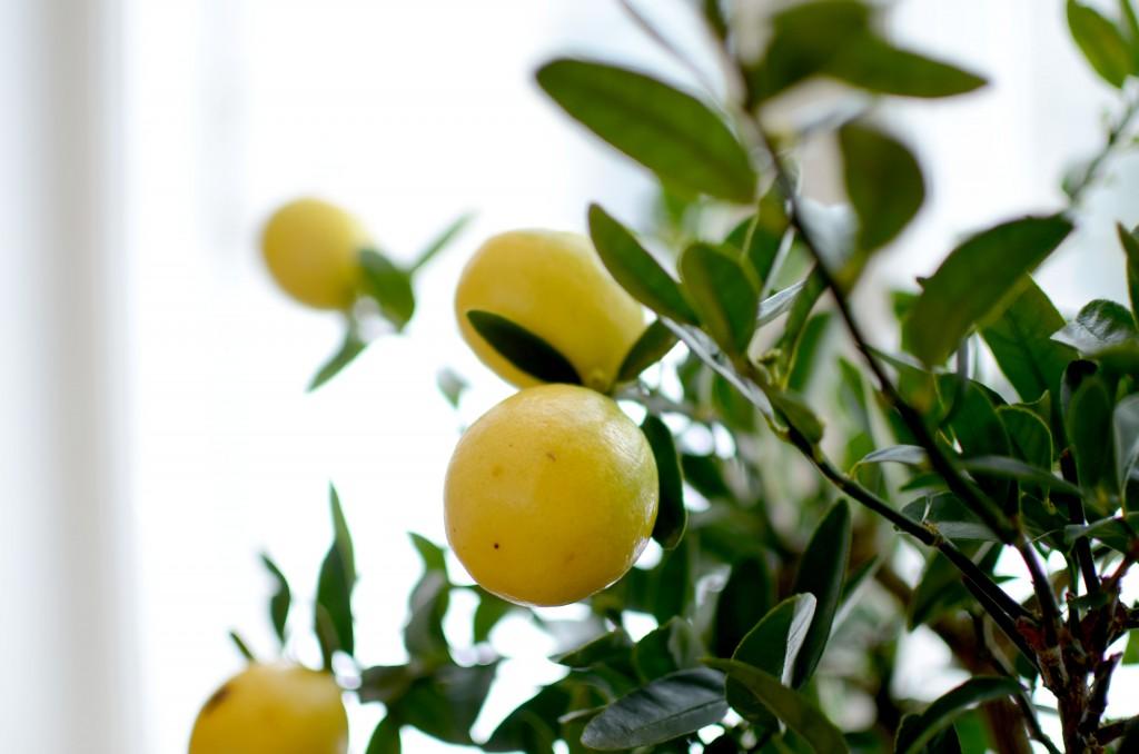 citronträd2